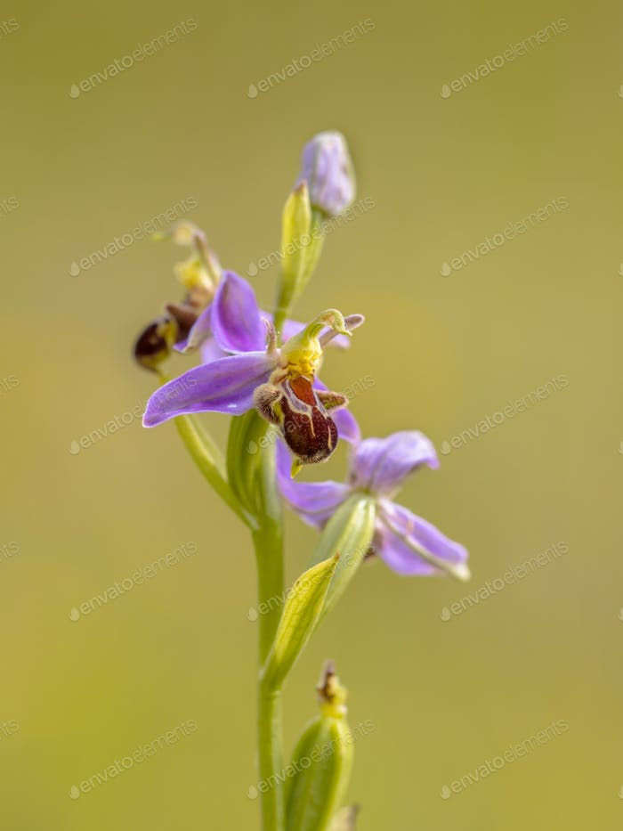 Pink flowers of Bee orchid close up