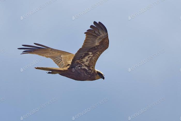 Rohrweihe, Circus aeruginosus, Marsh Harrier