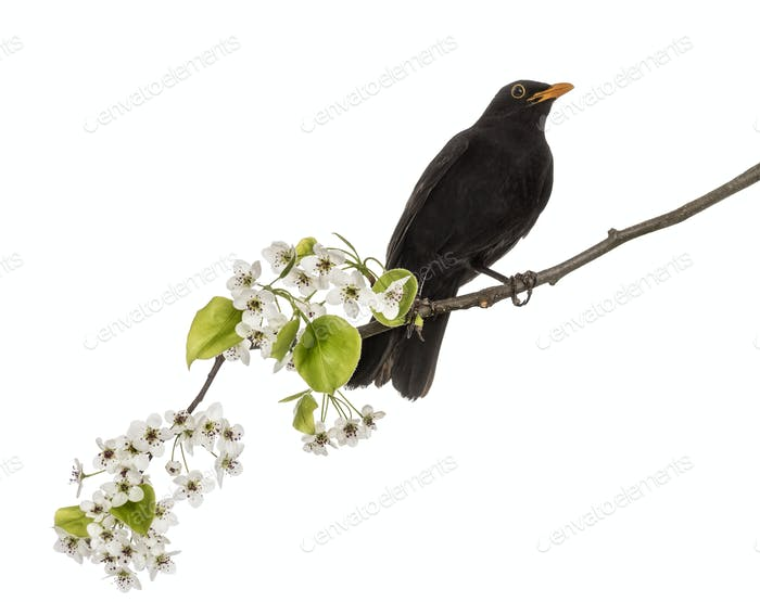 common blackbird perched on a flowering branch, isolated on whit