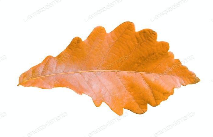 Nahaufnahme von Herbst Eichenblatt auf weiß