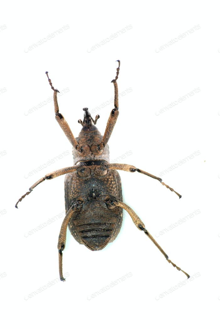 insect snout beetle