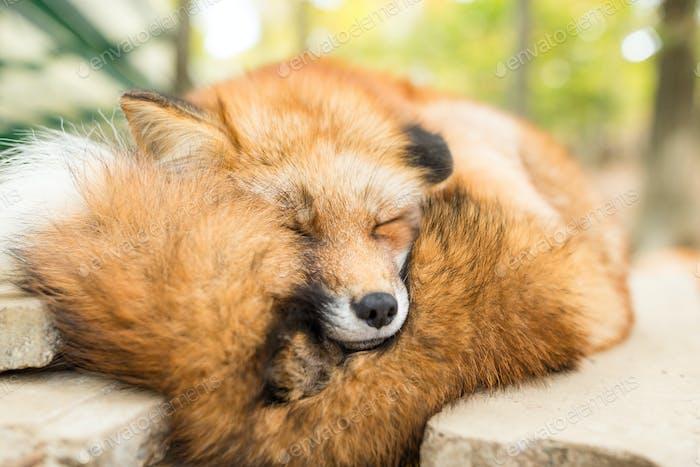Wild fox sleeping