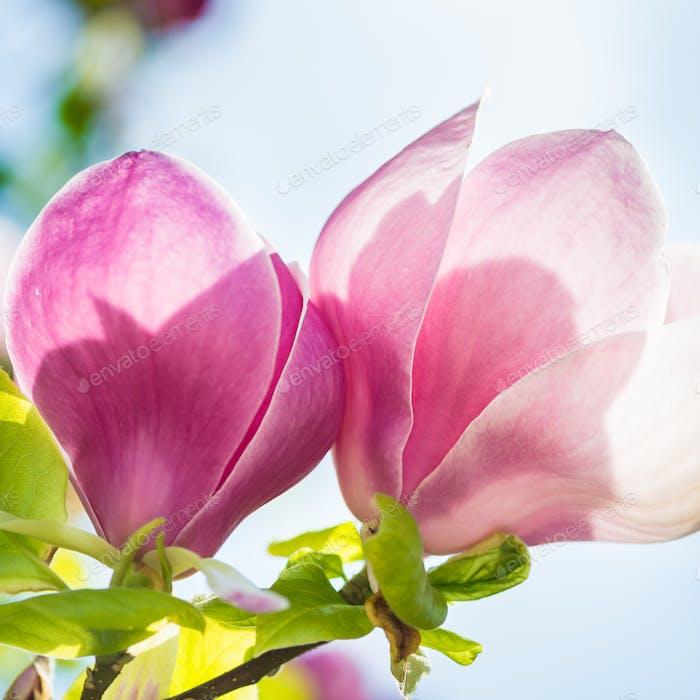 Schöner Magnolienbaum, hellrosa/lila