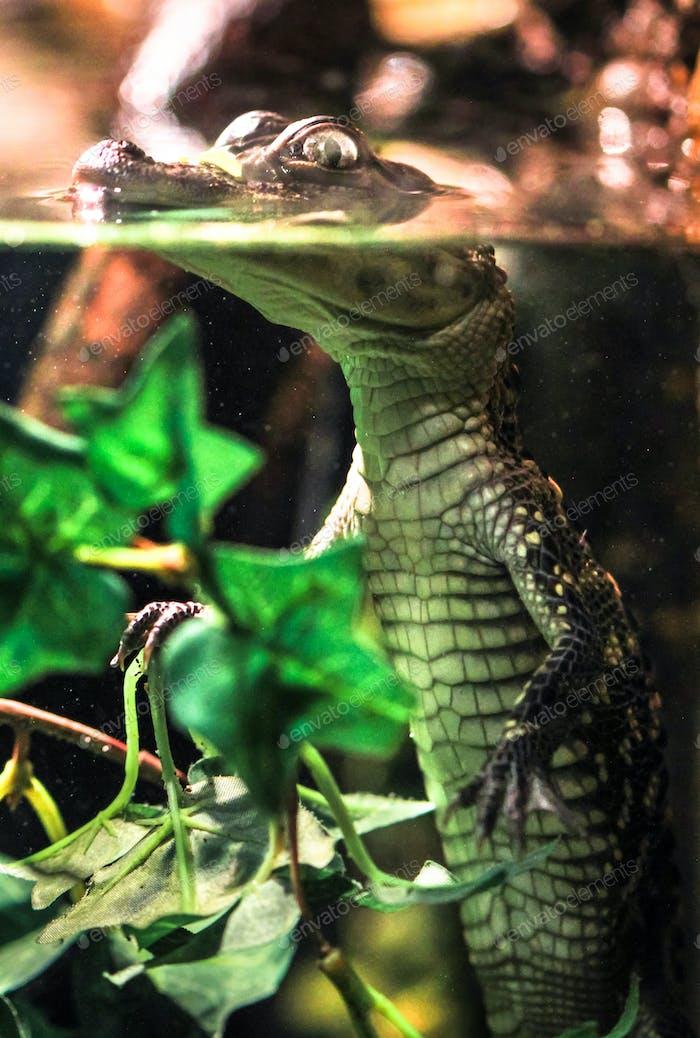 Baby Saltwater Crocodile Floating in Water