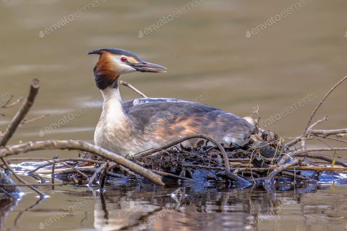 Alerted Great crested Grebe on nest