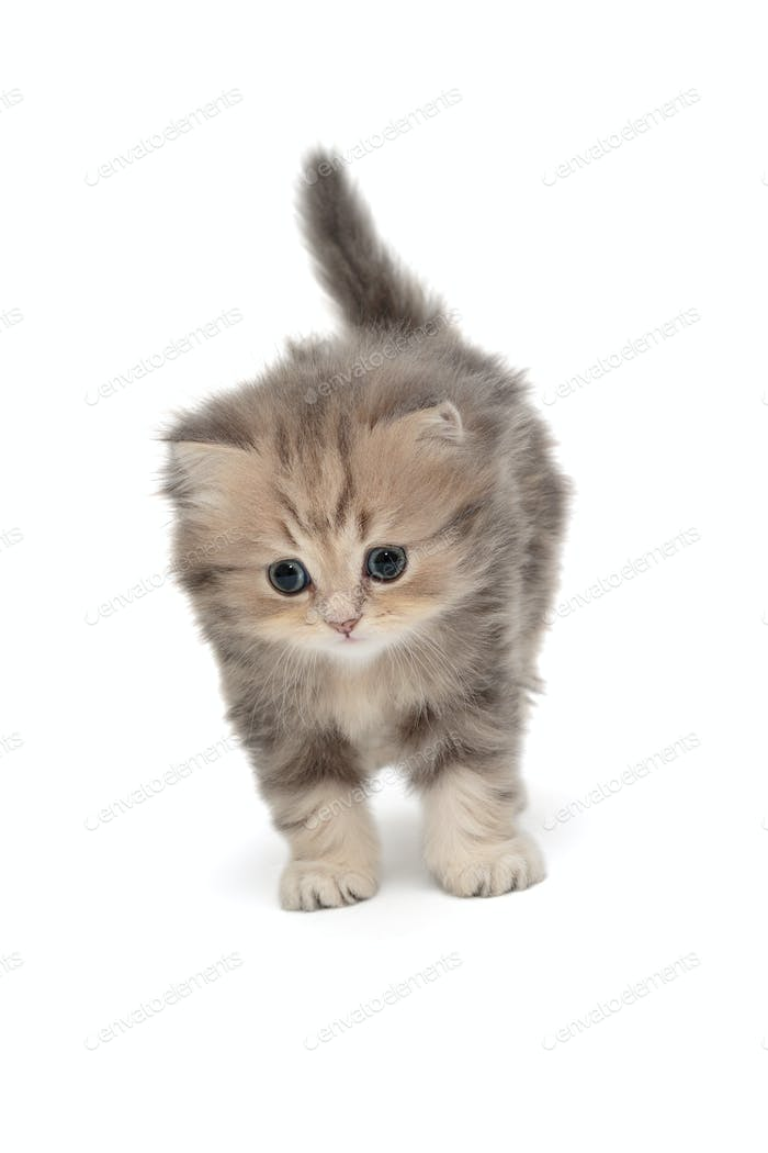 Funny grey kitten of British  breed