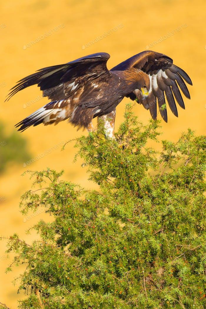 Golden Eagle, Mediterranean Forest, Spain