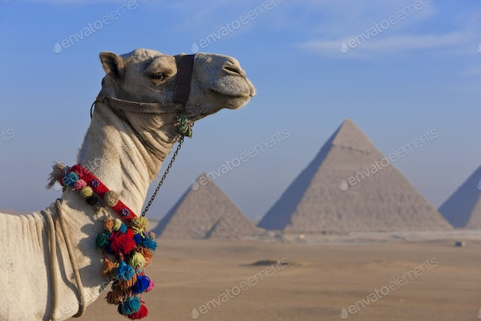 Camel in the desert with three pyramids in the Giza pyramid complex