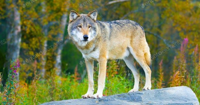 Großer männlicher grauer Wolf stehend auf einem Felsen im Wald