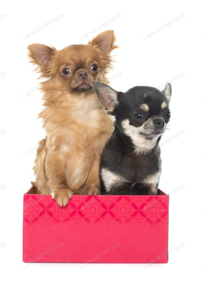 two young chihuahua