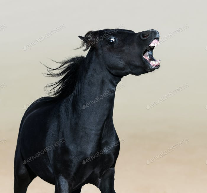 Angry American Miniature Horse. Vertical portrait of black stallion.