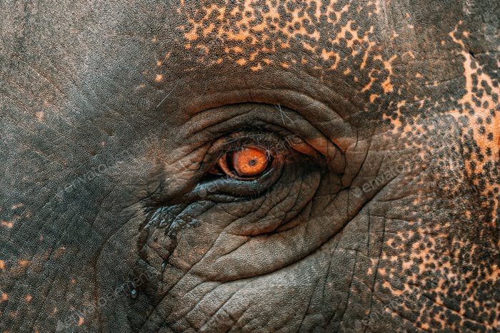 Goa, India. Close View Of Eye Of Elephant Cow