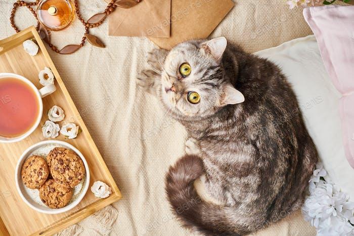 Schottische Tabby Katze im Bett zu Hause liegend. Winter- oder Herbst-Wochenendkonzept.