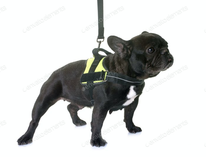 french bulldog and harness