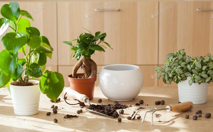 Gartenarbeit, Pflanzung zu Hause. Umzug Ficus Zimmerpflanze