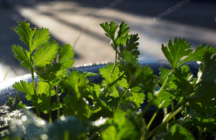 Close-up view of the coriander leaves after watering
