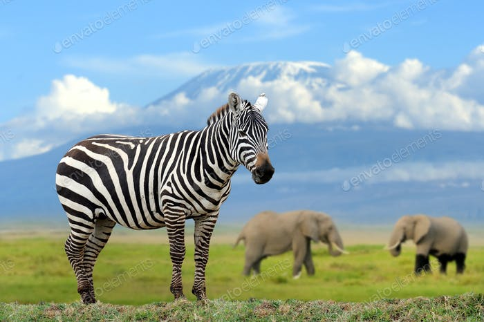 Zebra on elephant and Kilimanjaro background