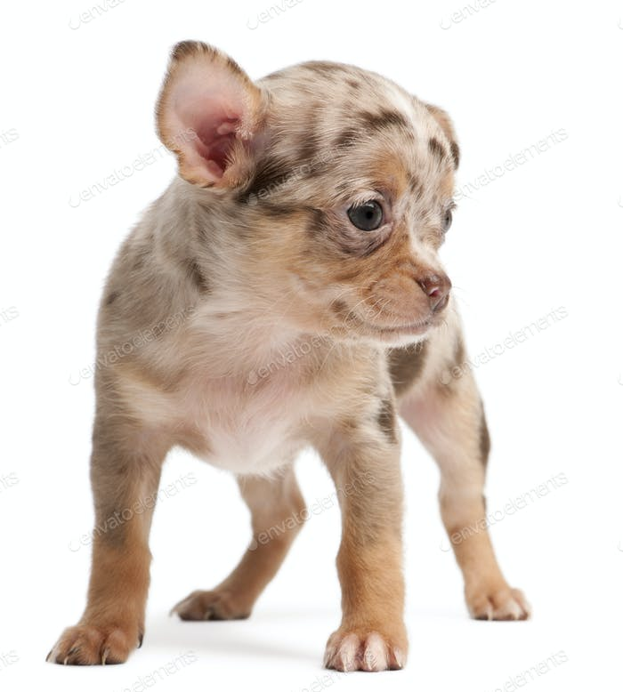 Chihuahua puppy standing in front of white background