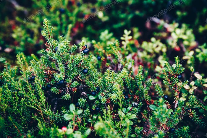Black Crowberry close-up in summer forest, Finland Lapland