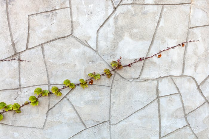 twig of climbing plant on concrete wall