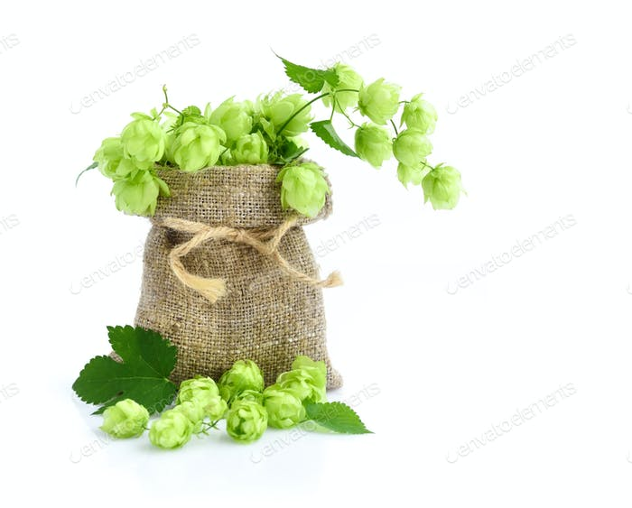 Fresh green hops in burlap bag with branch on white background