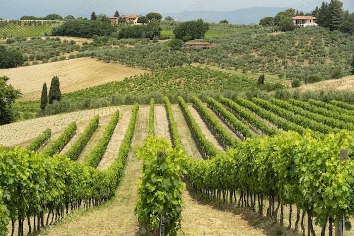 Summer landscape in Tuscany near Certaldo