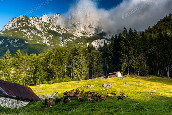 Traditional Goat Pasture in High Alpine Mountains, Slovenia