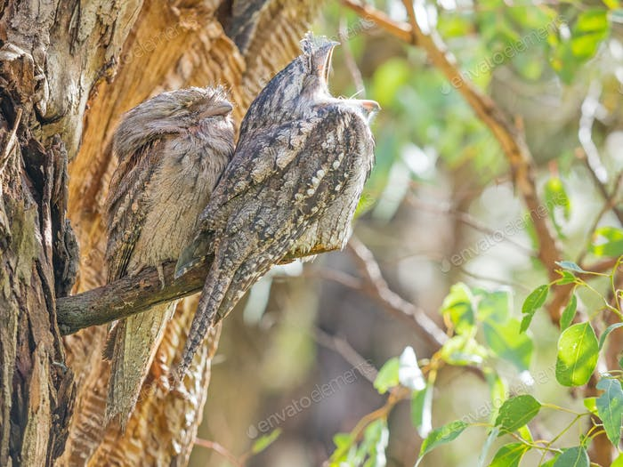Ein Paar Tawny Frogmouths