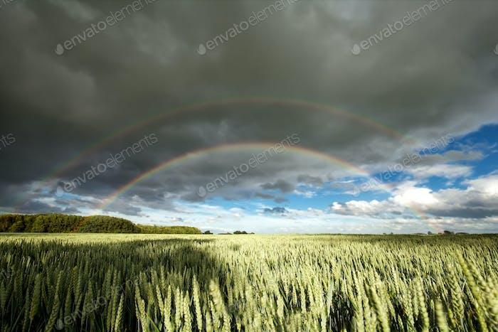 double rainbow over wheat field