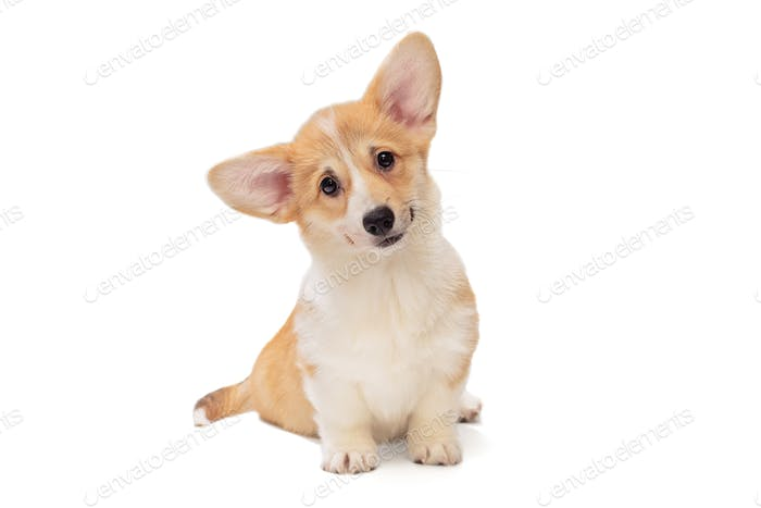 Cute Pembroke Corgi Puppy
