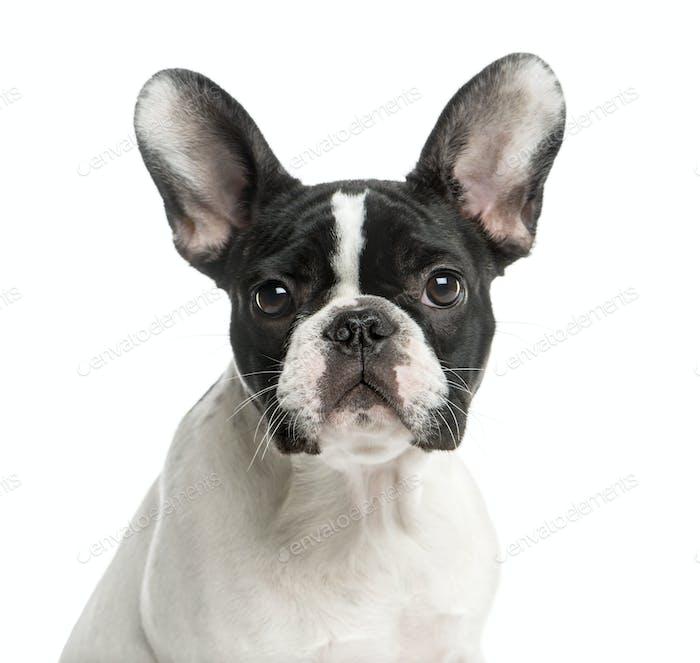 Nahaufnahme einer Französisch Bulldogge vor einem weißen Hintergrund