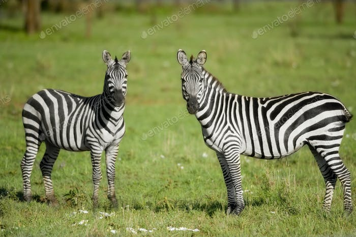 zwei Zebras in der Serengeti