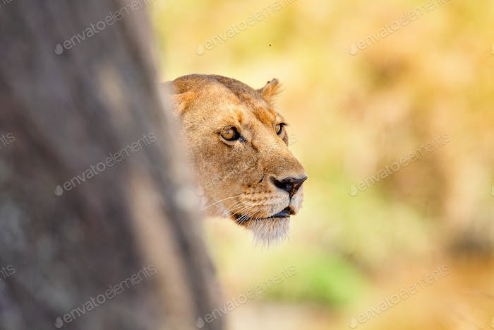 Focused lion stands behind a tree looking for prey in Africa