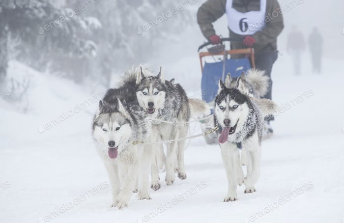 Enthusiastic team of dogs in a dog sledding race.