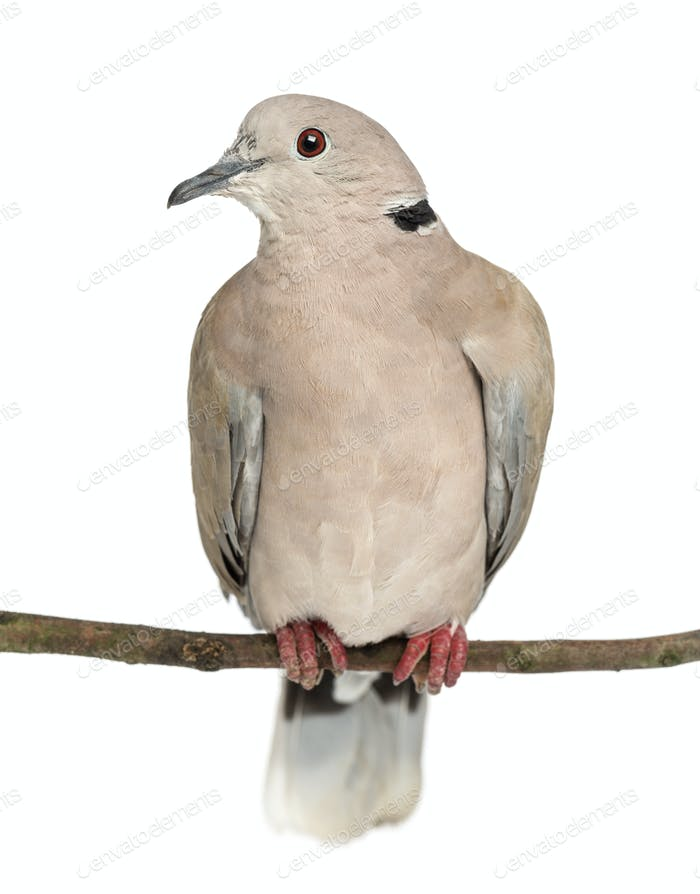 Eurasian Collared Dove perched on branch, Streptopelia decaocto, often called the Collared Dove