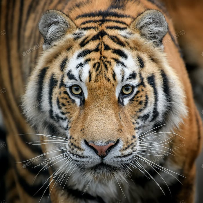 Close-up detail portrait of big Siberian or Amur tiger