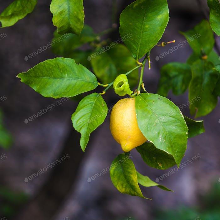 Lemon on the tree.  Organic lemons on tree