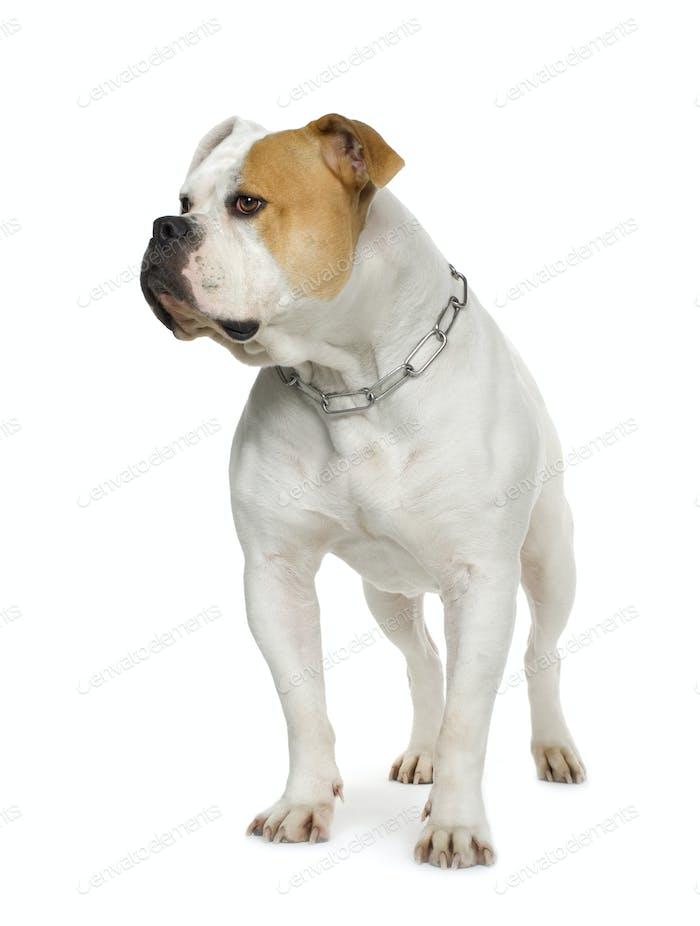 American Bulldog (4 years)