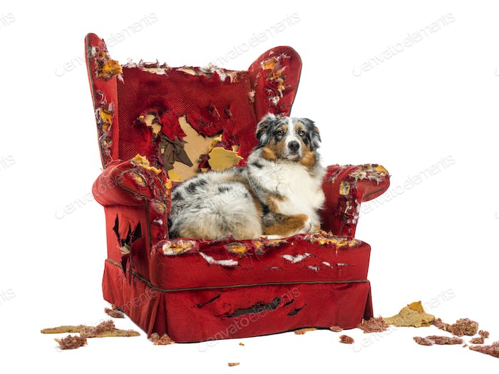 Australian Shepherd lying on a detroyed armchair, isolated on white