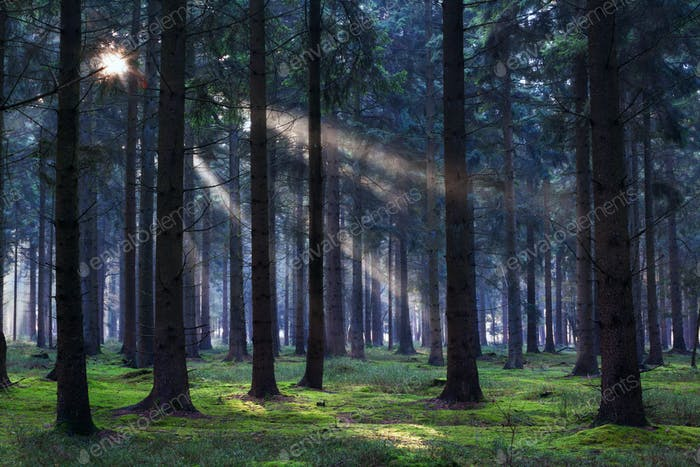 sunbeams in coniferous forest