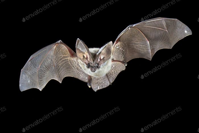 Flying Grey long eared bat