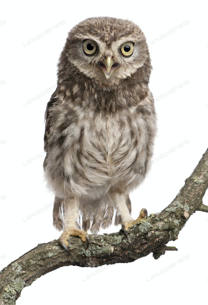 Young owl perching on branch in front of white background