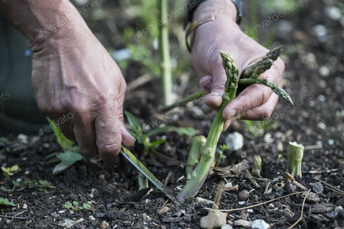 Nahaufnahme der Person, die grünen Spargel im Garten pflücken.