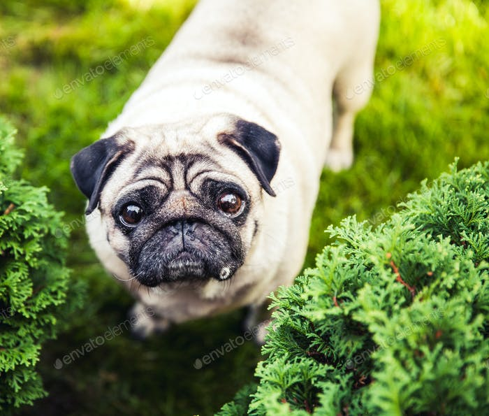 Close-up of Pug on the green grass in the garden