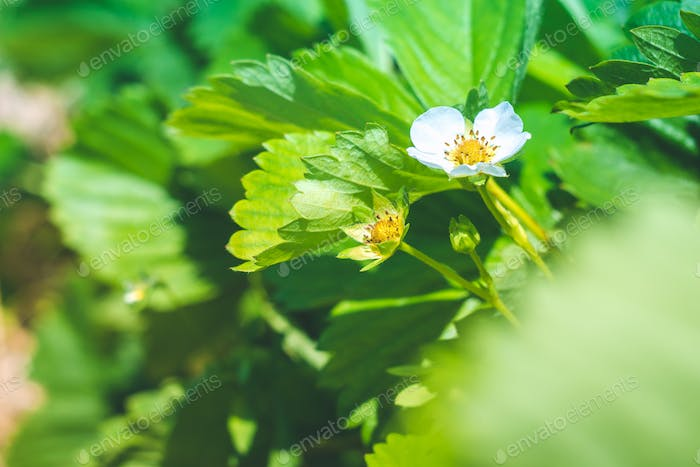 Blossom of strawberry flower on a field