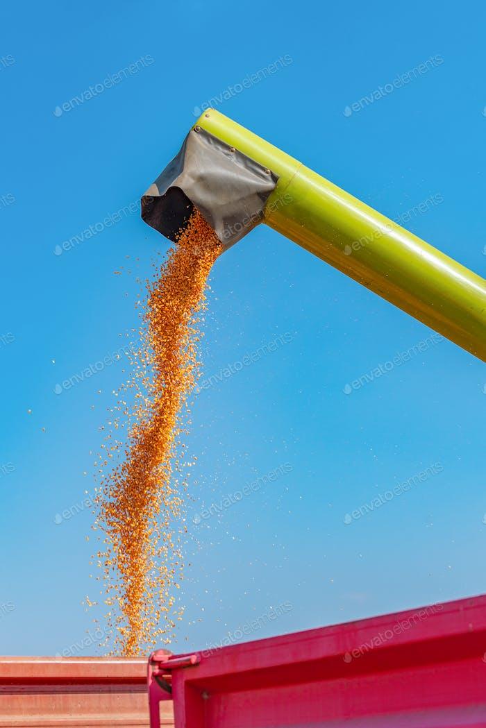 Combine unloading harvested corn kernels