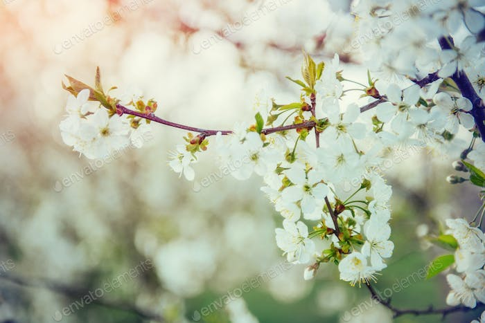 photo cherry tree bloom with flowers