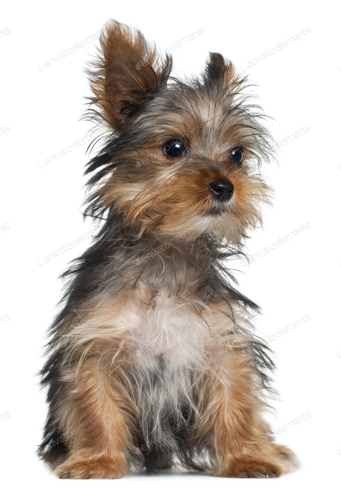 Yorkshire Terrier puppy, 8 weeks old, sitting in front of white background