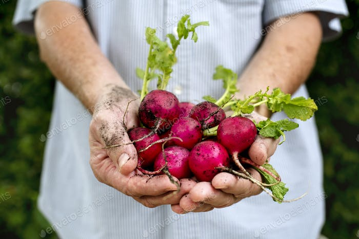 Hands holding radish organic produce from farm