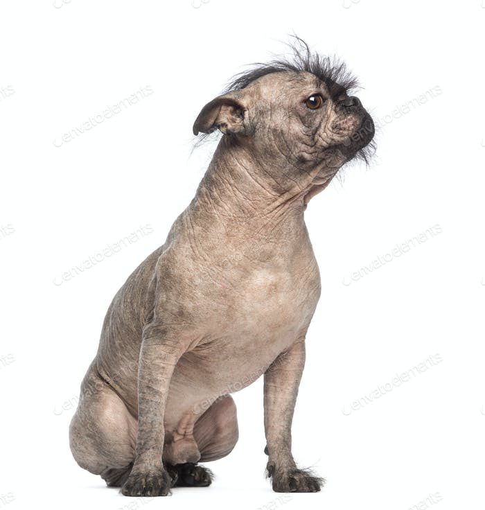 Hairless Mixed-breed dog, mix between a French bulldog and a Chinese crested dog, sitting